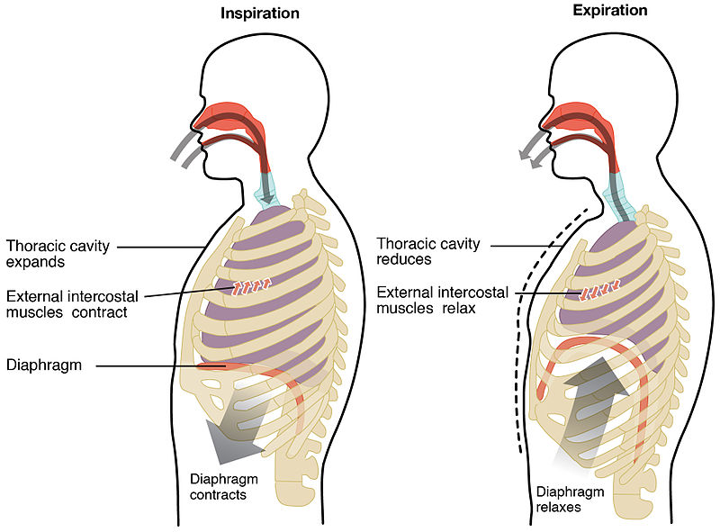 Diaphragmatic breathingpelvic health and rehabilitation center as shannon discussed in a prior blog on pelvic floor anatomy the pelvic floor are a group of muscles that sit at the base of the pelvis tyukafo